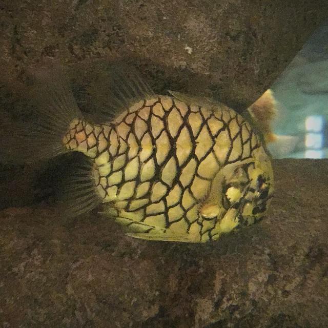 Tannenzapfenfisch